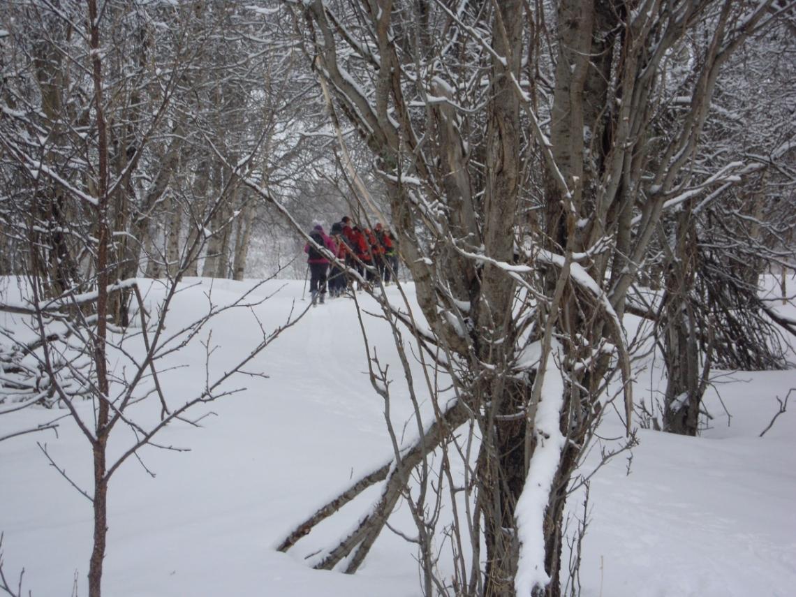 Norvège forêt de bouleaux